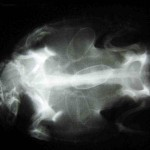 Legenot einer Emydura albertisii, ein Ei im Eileiter zerbrochen