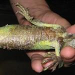 Junger Grüner Leguan, Kehllappennekrose, alte entzündete Hautschichten am Bauch
