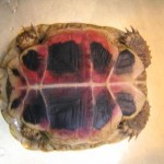 Griechische Landschildkröte mit hochgradiger Sepsis